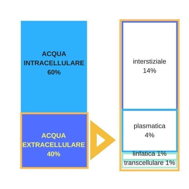 Acqua intracellulare ed extracellulare