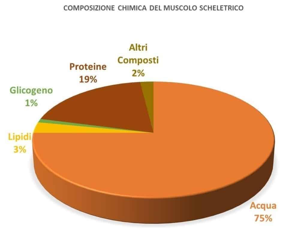 Le proteine e la struttura muscolare